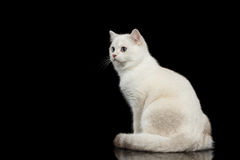 Furry British breed Cat white color on Isolated Black Background. Adorable British breed Cat White color with magic Blue eyes, Sitting on Isolated Black Royalty Free Stock Image