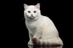 Furry British breed Cat white color on Isolated Black Background Royalty Free Stock Images