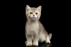 Furry British breed Kitten on Isolated Black Background. British Kitten Red Fur and Green eyes Sitting and Stare in camera on Isolated Black Background, front Royalty Free Stock Photos