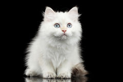 Furry British breed Kitty white color on Isolated Black Background. Furry British breed Kitty White color Sitting and Looking up on Isolated Black Background Royalty Free Stock Photo