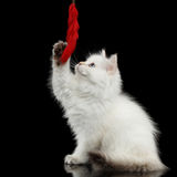 Furry British breed Kitty white color on Isolated Black Background Royalty Free Stock Photo