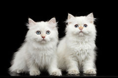 Furry British breed Kitty white color on Isolated Black Background Stock Images