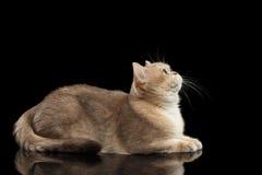 Furry British Cat Gold Chinchilla Lying, Looking up, Isolated Black Stock Photo