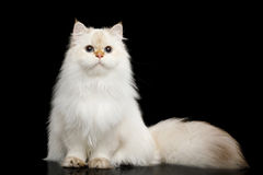 Furry British Cat white color on Isolated Black Background. British breed Cat White color-point with magic Blue eyes and Furry tail Sits on Isolated Black Stock Image