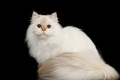 Furry British Cat white color on Isolated Black Background. British breed Cat White color-point with magic Blue eyes and Furry tail Sitting on Isolated Black Royalty Free Stock Images