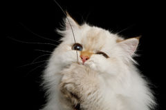 Furry British Cat white color on Isolated Black Background. Close-up Funny British Cat White color-point Play with toy, touching paws and wink on Isolated Black Royalty Free Stock Photo