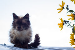 Furry brown blue eyed cat on roof Royalty Free Stock Photo