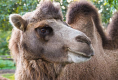 Furry brown camel in zoo. Portrait closeup of furry brown camel in zoo Stock Photos