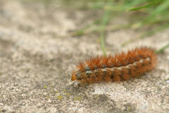 Furry brown caterpillar of the buff ermine moth Royalty Free Stock Photography