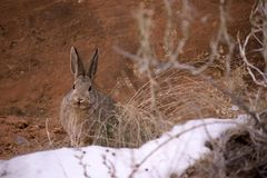 Furry Brown Cottontail Rabbit Sylvilagus with Redrock and Snow Patch. Fuzzy Brown Cottontail Rabbit at Zion National Park in Utah with sand, weed and snow patch stock photography