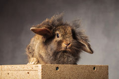 Furry brown lion head bunny sitting on a woodbox. Royalty Free Stock Images
