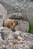 Furry Brown Marmot Royalty Free Stock Photos