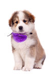 Furry bucovinean shepard puppy Stock Images