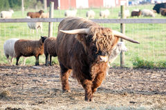 Furry bull. Big furry bull on outdoor summer pasture background Royalty Free Stock Photos