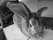 Furry bunny rabbit, black and white. One furry fuzzy bunny rabbit, black and white Royalty Free Stock Photography