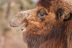 Furry camel Royalty Free Stock Photos