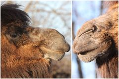 Furry camel Stock Image