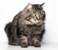 Furry cat. Long furry cat sitting on isolated background Royalty Free Stock Photography