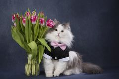 Furry cat with a bouquet of tulips.  Stock Photos