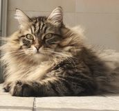 Furry cat, brown siberian breed Stock Image