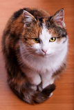Furry cat Stock Images