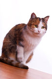 Furry cat Royalty Free Stock Photos
