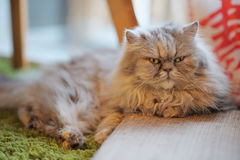 Furry cat. Relaxing on mattress Royalty Free Stock Image