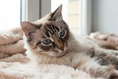 Furry cat of seal lynx point color with blue eyes is lying on a pink blanket. Furry cat of seal lynx point color with blue eyes is lying on a pink blanket near Stock Photo