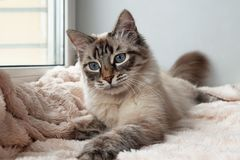 Furry cat of seal lynx point color with blue eyes is playing on a pink blanket. Furry cat of seal lynx point color with blue eyes is playing on a pink blanket Stock Images