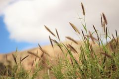 Furry cat tail grass Stock Images