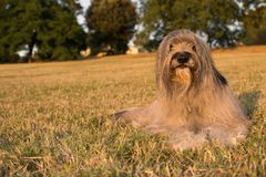 CATALAN SHEEP DOG LYING DOWN ON GRASS ON SUMMER. FURRY CATALAN SHEEP DOG LYING DOWN ON GRASS ON SUMMER royalty free stock image