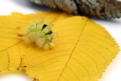 Furry caterpillar. A green furry caterpillar walking on orange autumn leaves Stock Photo
