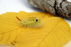 Furry caterpillar. A green furry caterpillar walking on orange autumn leaves Stock Image