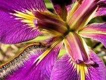 Free Furry Caterpillar And Iris Stock Photos - 7162993
