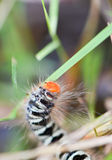 Furry caterpillars Royalty Free Stock Image