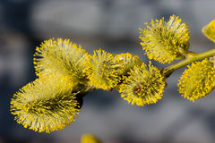 Furry catkins Royalty Free Stock Photos
