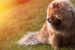 Furry chow chow dog relaxing in the grass royalty free stock image