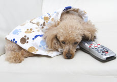Furry Couch Potato Stock Photography