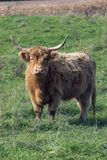 Furry cow. Long horned furry steer in a field Royalty Free Stock Photography