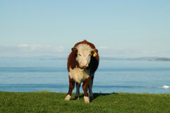 Furry cow Stock Images