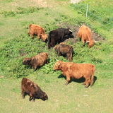 Furry cows and bulls. Brown and black furry cows and bulls with horns standing on meadow and feeding on grass stock photo