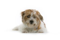 Furry Dog. A furry pet dog isolated on white background Stock Photos
