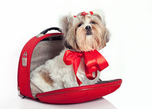 Furry dog in a bag. Glamorous dog as a gift in a bag with a bow Stock Photography