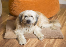 Furry dog on bed. A soft-coated wheaten terrier lying on a cozy dog bed Royalty Free Stock Photos