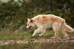 Furry dog picking her way along a mossy wall Royalty Free Stock Image