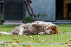 A furry dog playing dead Stock Photography