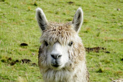 Furry domesticated alpaca portrait royalty free stock images