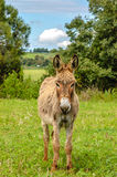 Furry Donkey. A Furry donkey on a green meadow Stock Photos