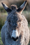 Furry Donkey portrait Royalty Free Stock Photography