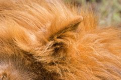 Furry ear of Male lion sleeping at Serengeti National Park in Tanzania, Africa. Closeup furry ear of Male lion sleeping at Serengeti National Park in Tanzania royalty free stock photo